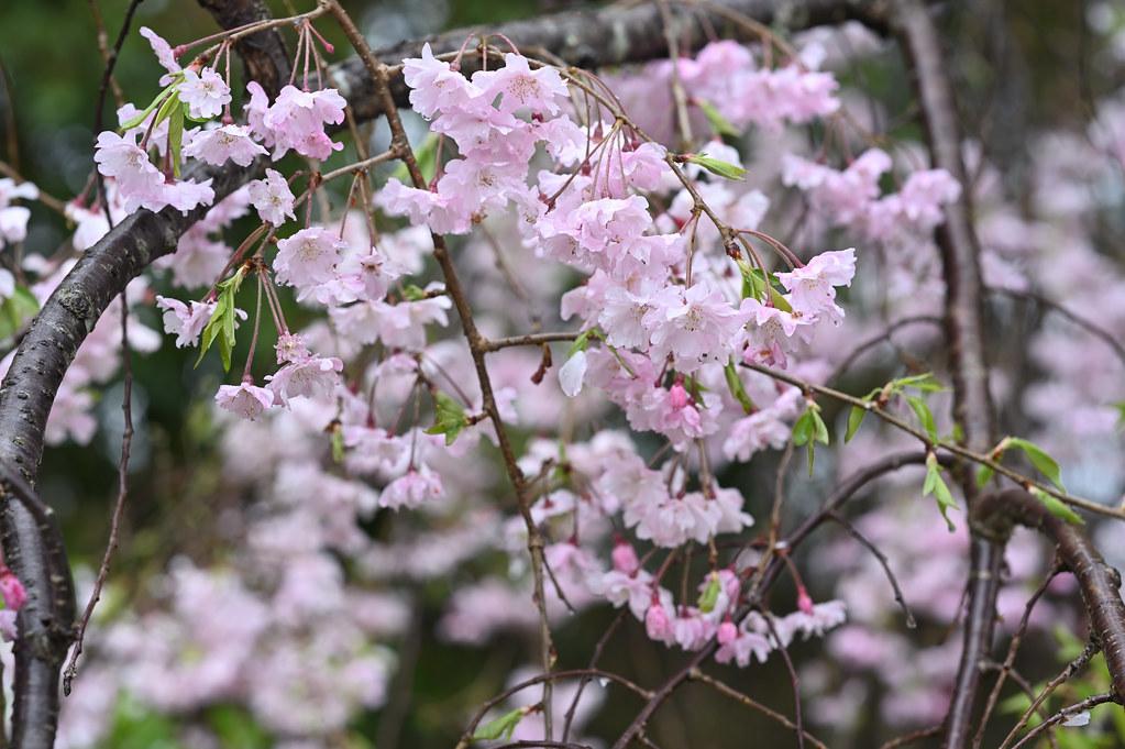 雨に桜散る下鴨半木の道・上賀茂神社 7