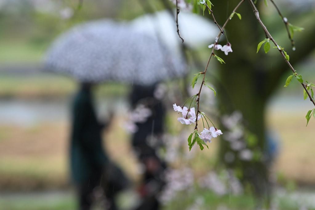 雨に桜散る下鴨半木の道・上賀茂神社 3