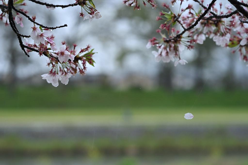 雨に桜散る下鴨半木の道・上賀茂神社 15