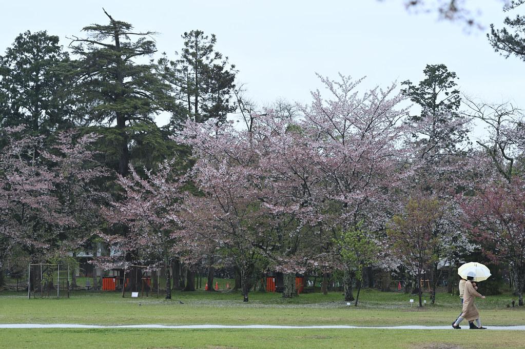 雨に桜散る下鴨半木の道・上賀茂神社 25