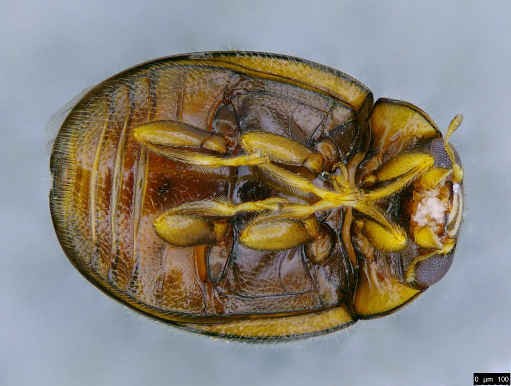 3b - Coccinellidae sp.