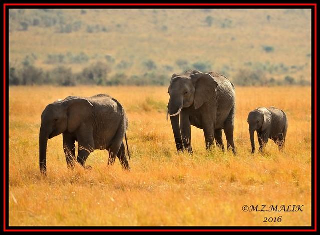 FAMILY OF AFRICAN ELEPHANTS (Loxodonta africana)....MASAI MARA....SEPT 2016.