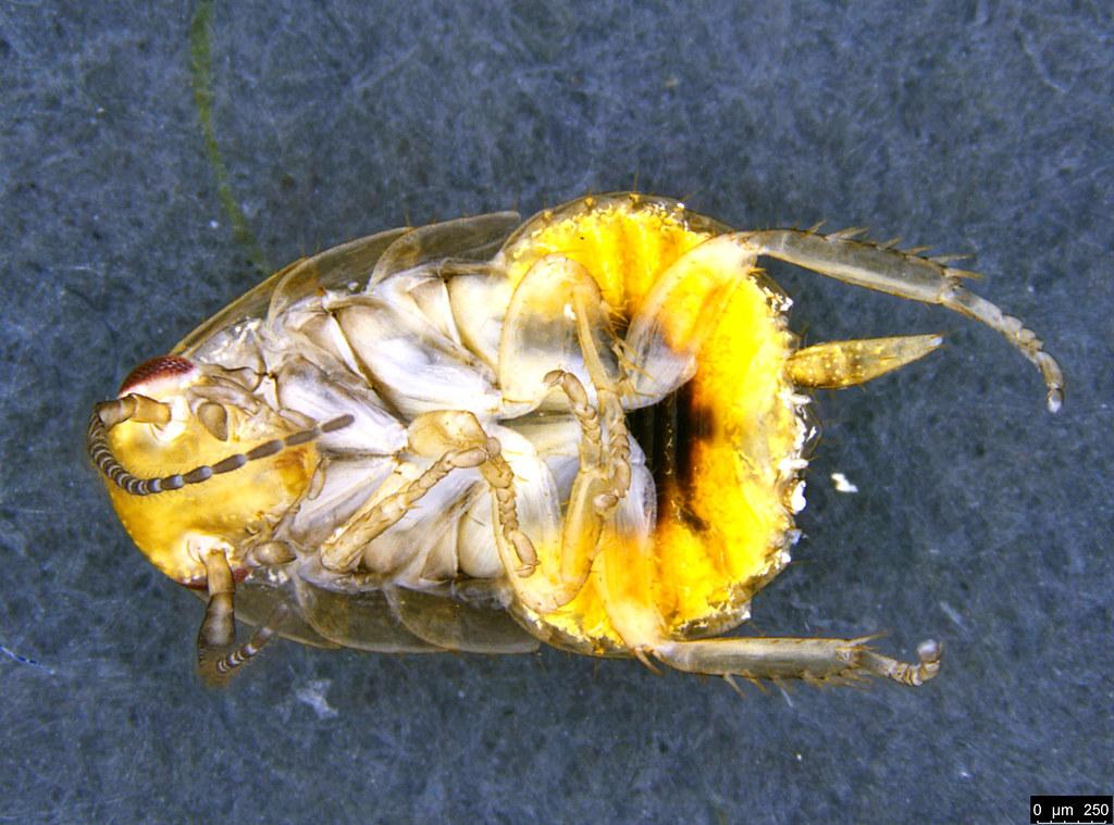 2b - Blattodea sp.