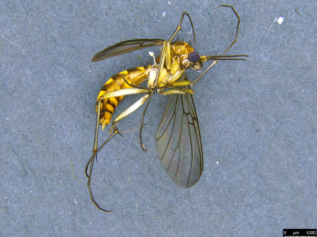 6a - Mycetophilidae sp.