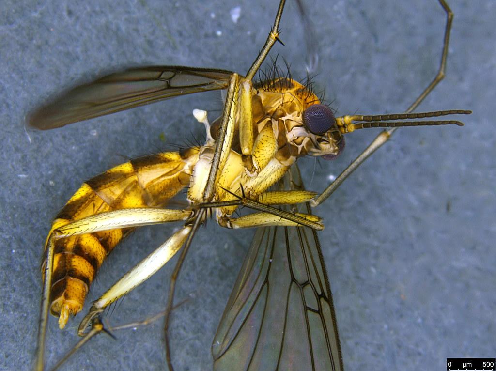6b - Mycetophilidae sp.