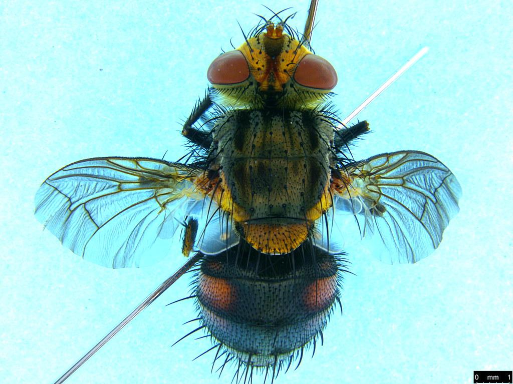 9a - Tachinidae sp.