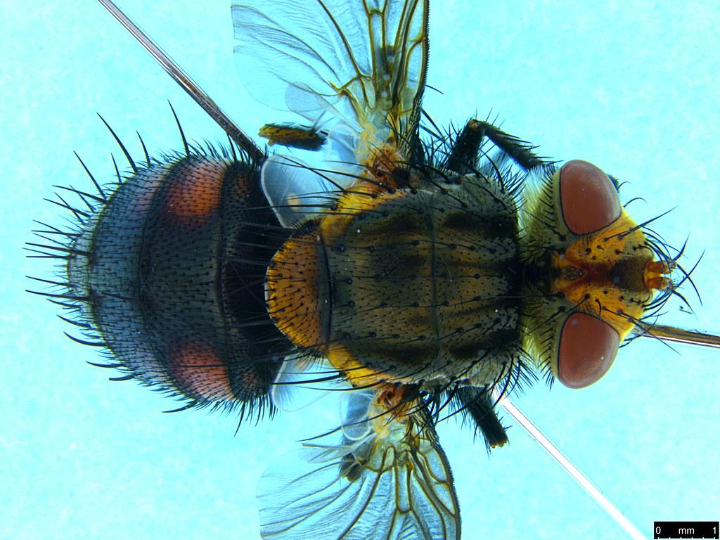 9b - Tachinidae sp.