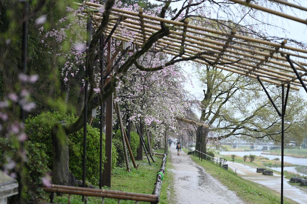 雨に桜散る下鴨半木の道・上賀茂神社 5