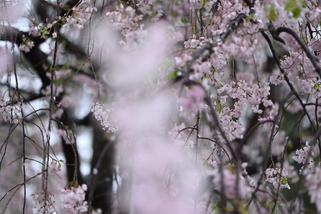 雨に桜散る下鴨半木の道・上賀茂神社 16