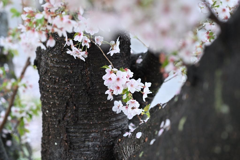 雨に桜散る下鴨半木の道・上賀茂神社 2