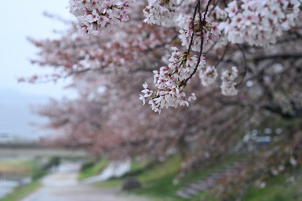 雨に桜散る下鴨半木の道・上賀茂神社 17