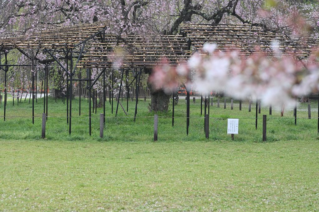雨に桜散る下鴨半木の道・上賀茂神社 26