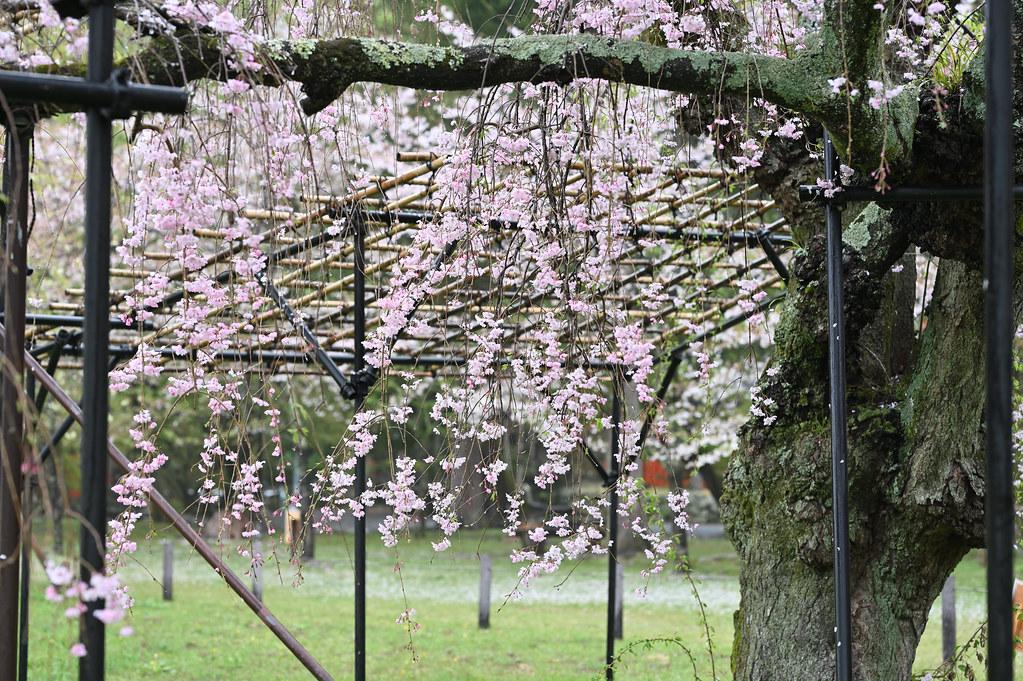 雨に桜散る下鴨半木の道・上賀茂神社 27