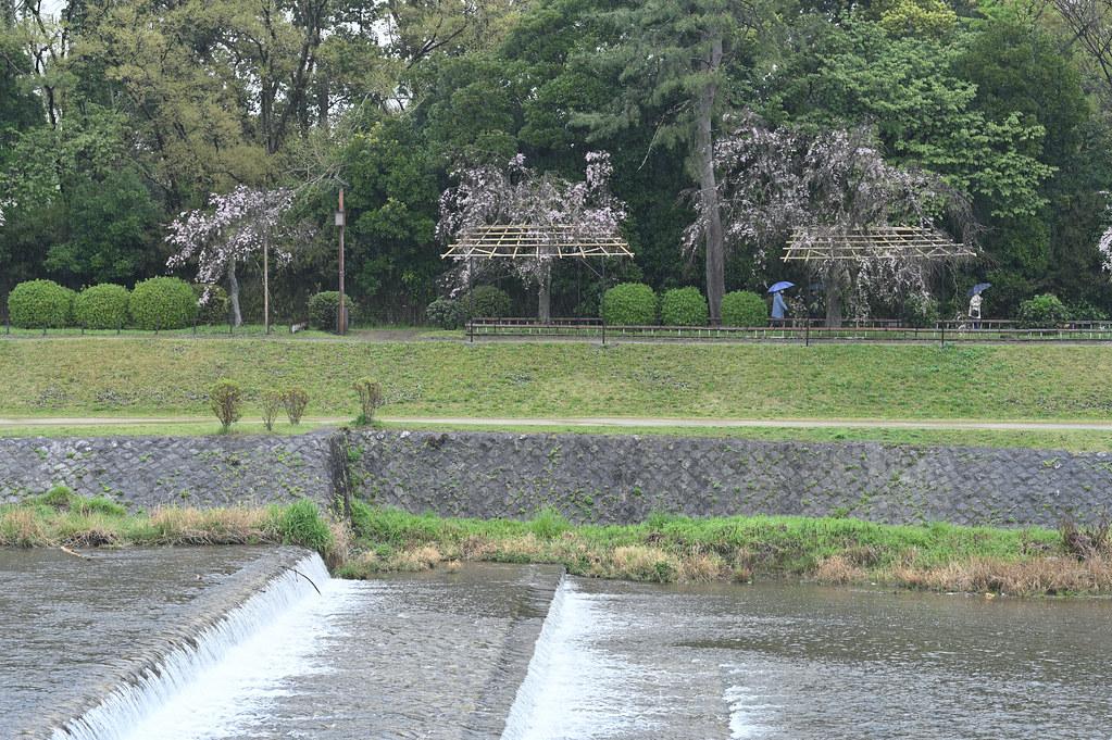 雨に桜散る下鴨半木の道・上賀茂神社 23