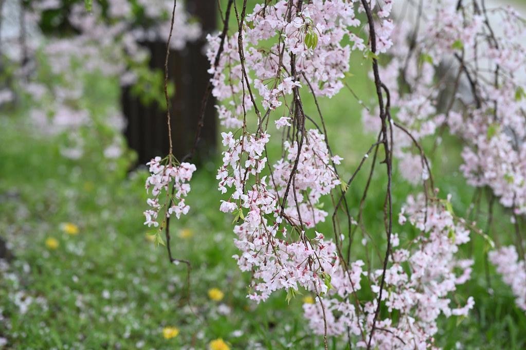 雨に桜散る下鴨半木の道・上賀茂神社 8