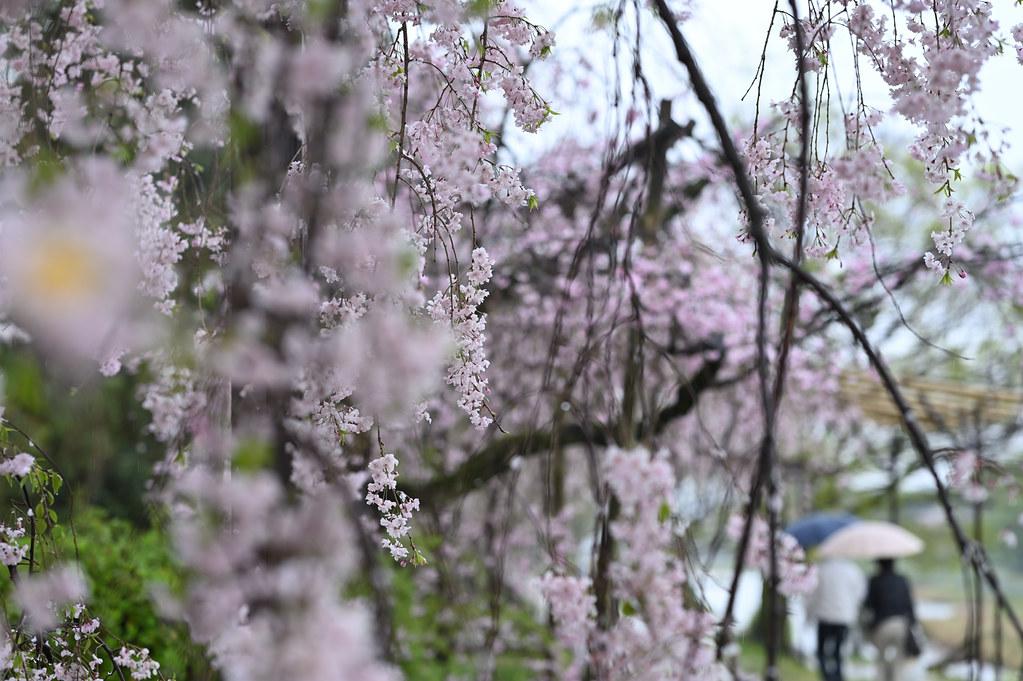 雨に桜散る下鴨半木の道・上賀茂神社 4