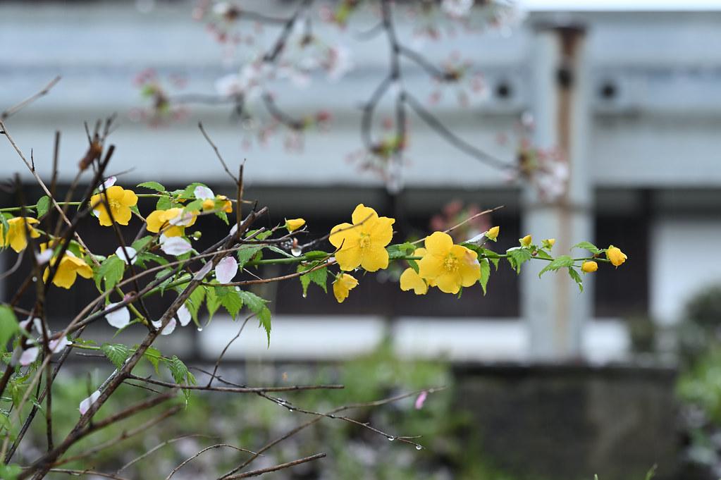 雨に桜散る下鴨半木の道・上賀茂神社 9