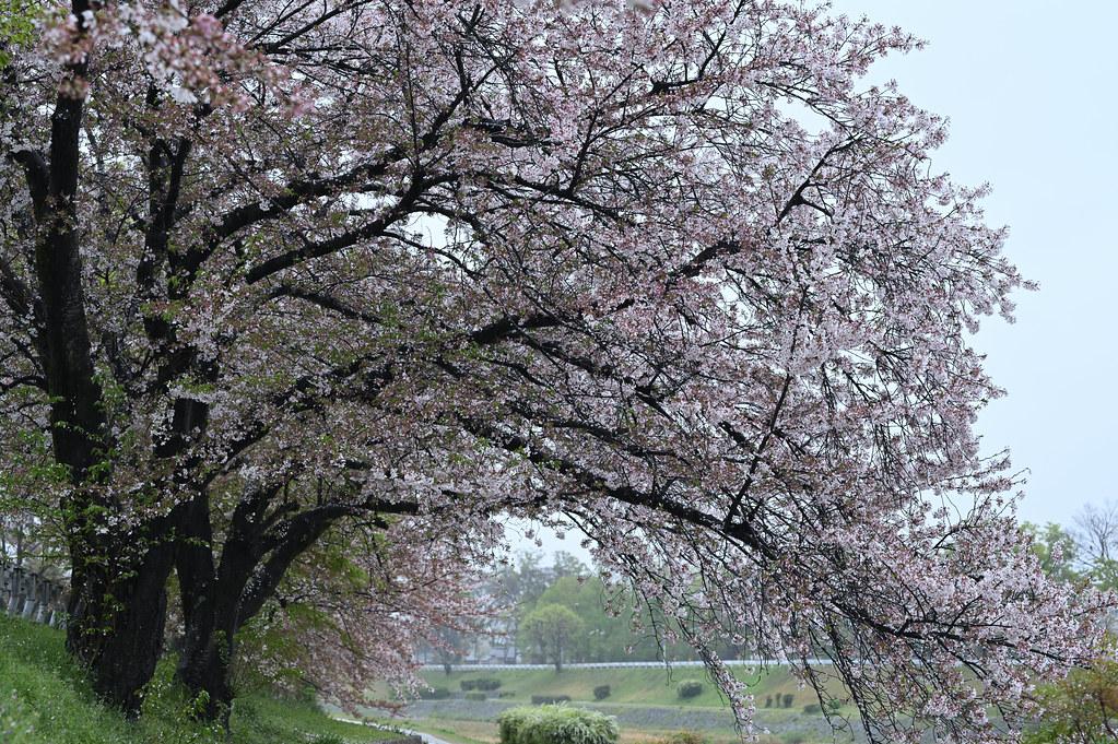 雨に桜散る下鴨半木の道・上賀茂神社 1