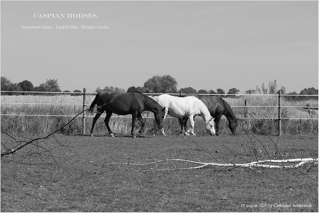 Caspian horses