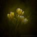 Spring crocuses 4