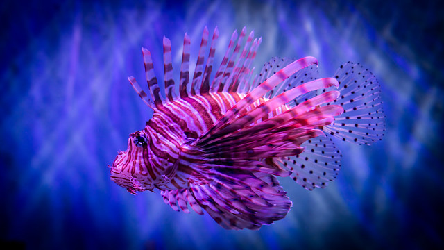 S.E.A. Aquarium - Lionfish