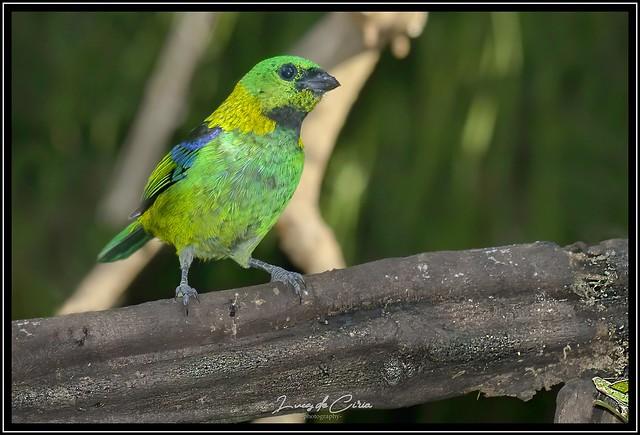 Saíra Arcoiris, Green-headed Tanager (Tangara seledon)