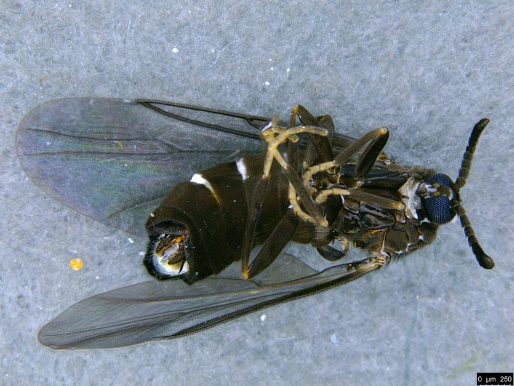 7b - Bibionidae sp.