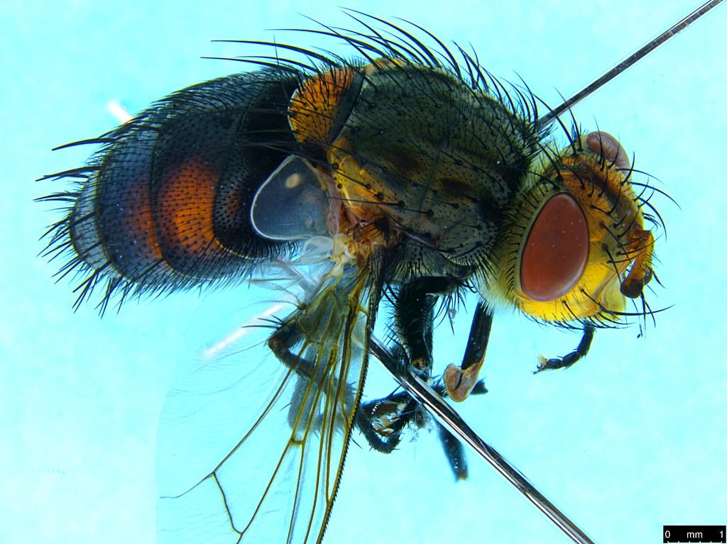 9c - Tachinidae sp.