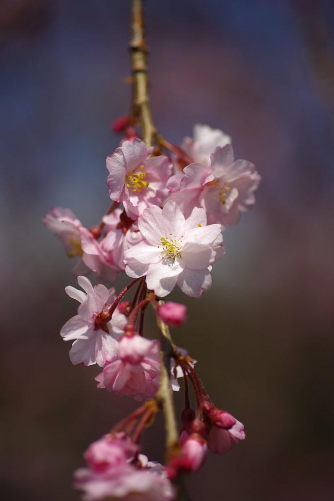 桜2021