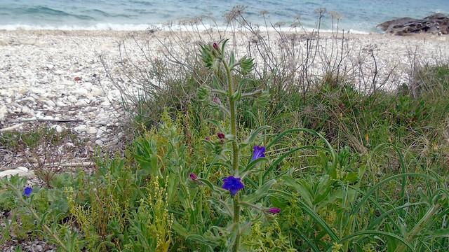 5_Echium plantagineum