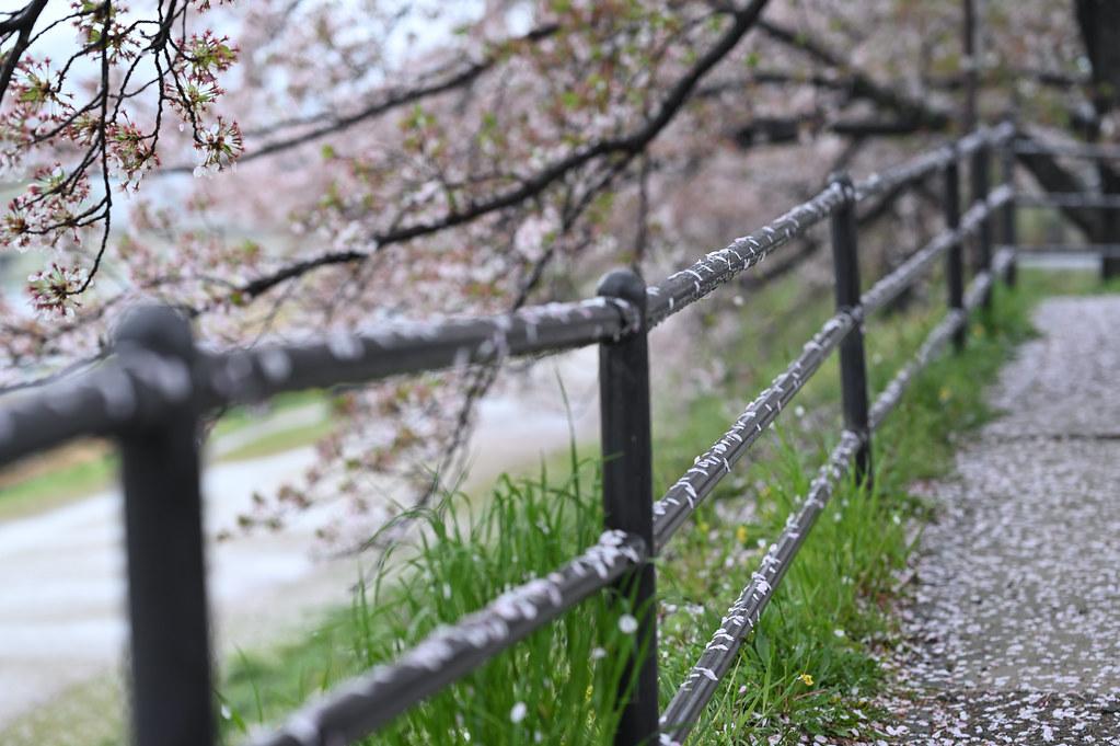 雨に桜散る下鴨半木の道・上賀茂神社 14