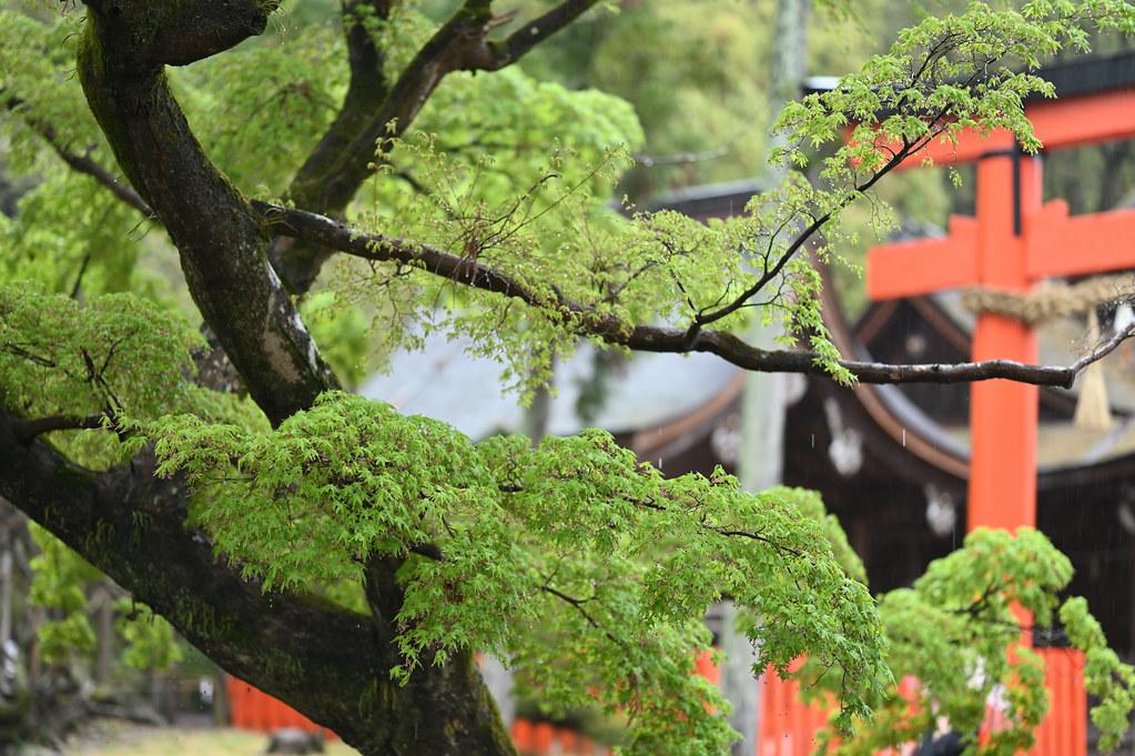 雨に桜散る下鴨半木の道・上賀茂神社 29