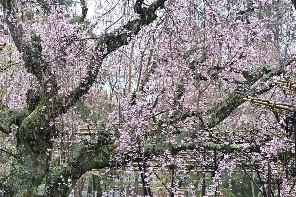 雨に桜散る下鴨半木の道・上賀茂神社 28