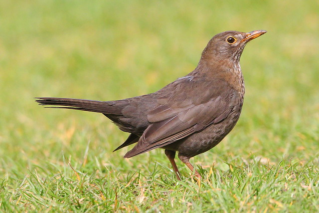 female blackbird in Stubbington, Hampshire