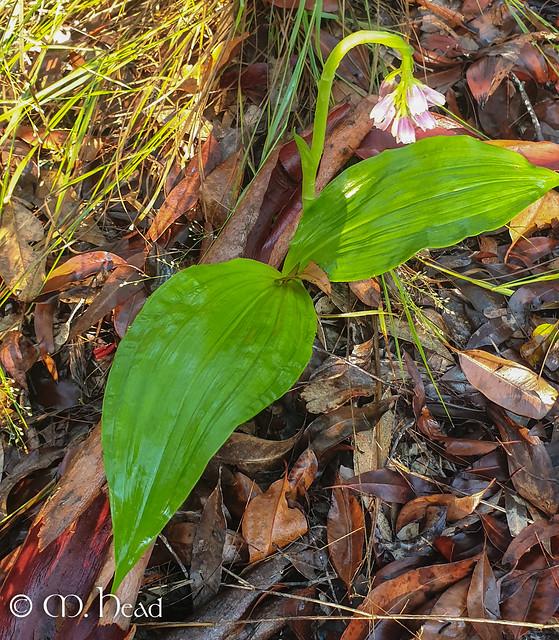 Shepherd's Crook Orchid (Geodorum densiflorum)