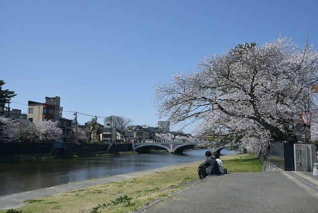 金沢桜満開 その5