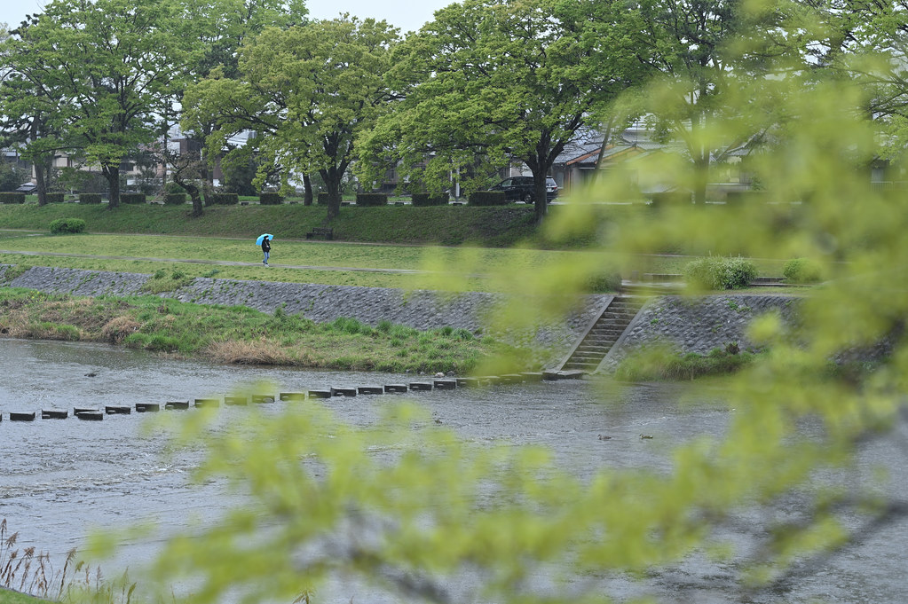 雨に桜散る下鴨半木の道・上賀茂神社 30