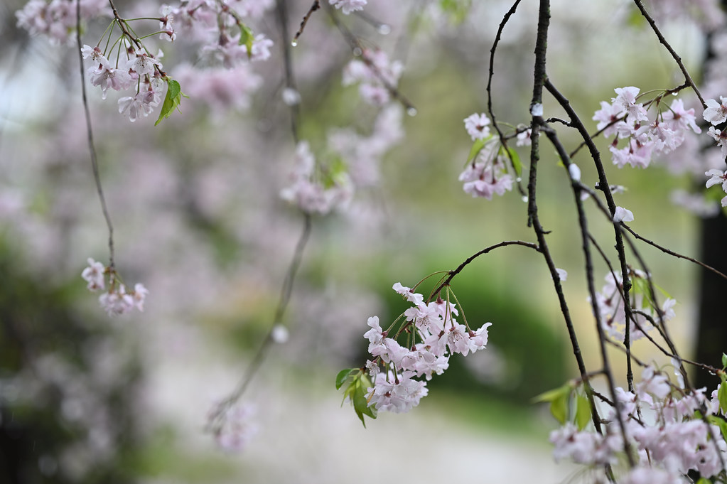 雨に桜散る下鴨半木の道・上賀茂神社 18