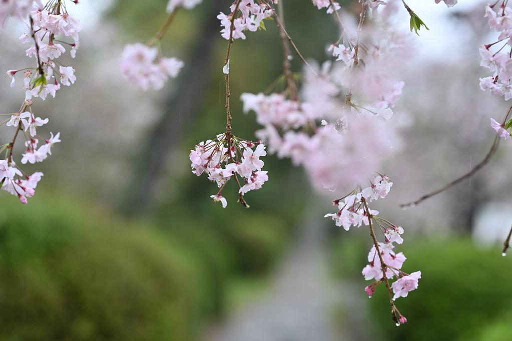 雨に桜散る下鴨半木の道・上賀茂神社 6