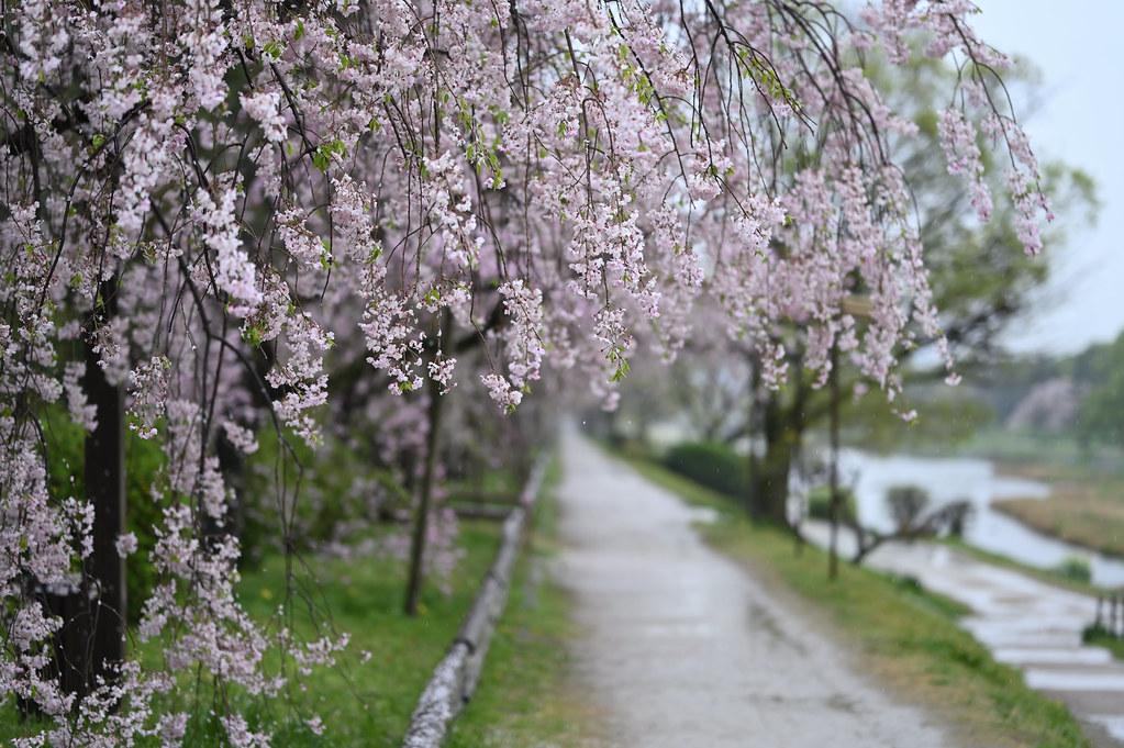 雨に桜散る下鴨半木の道・上賀茂神社 21