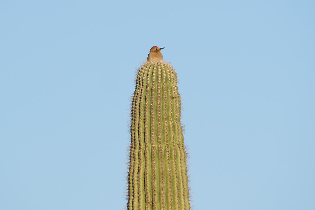 A male Gila woodpecker looks out from atop a tall saguaro in Scottsdale, Arizona on May 27, 2021. Original: _RAC5802.arw
