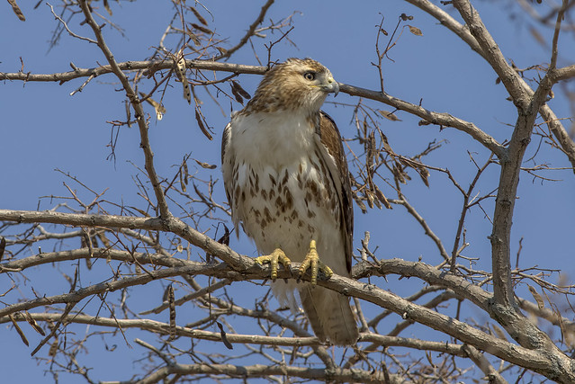 Red-tailed Hawk | Awesome Nature