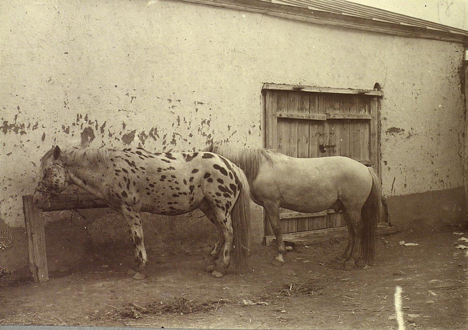 Урга. Лошади
