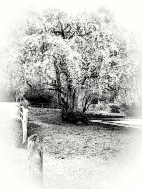 Cherry blossom dream impression