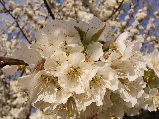 Cherry blossoms [explored]