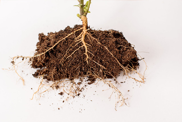 cross section of the roots of a plant, to teach biology.
