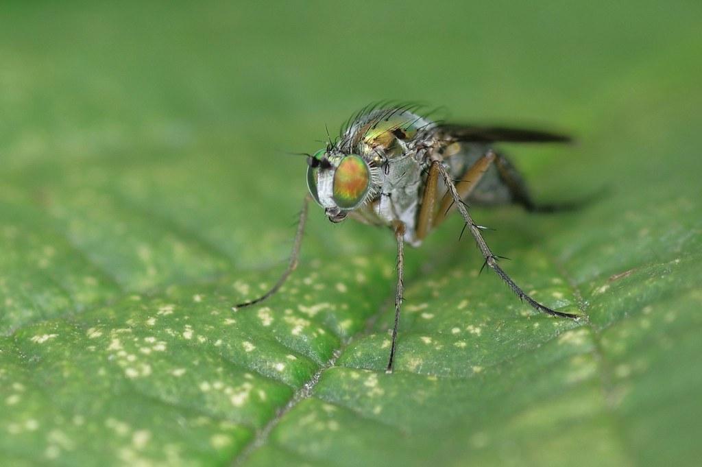 Female Semaphore Fly - Poecilobothrus nobilitatus