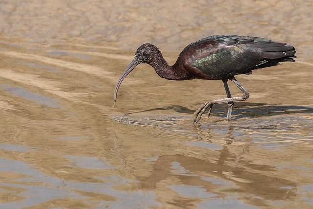 Capo reial - Morito comun - Glossy ibis - Ibis falcinelle - Plegadis falcinellus