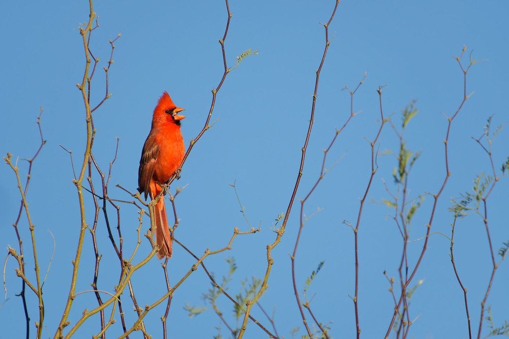 A male cardinal sings from a tree branch on March 27, 2021. Original: _RAC5834.arw