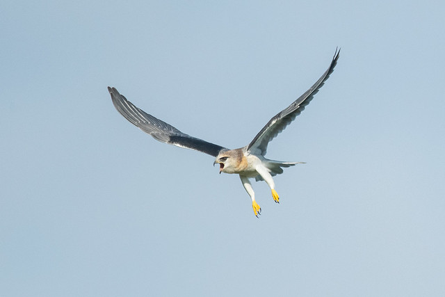 Juvenile Black-winged Kite